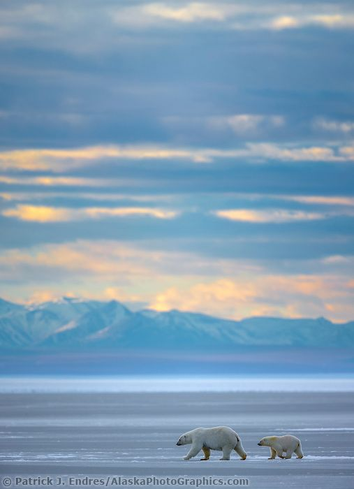 Bear on sea ice in the Beaufort Sea, Romanzof mountains of the Brooks Range in the distance. Arctic National Wildlife Refuge, Alaska. | AlaskaPhotoGraphics.com |