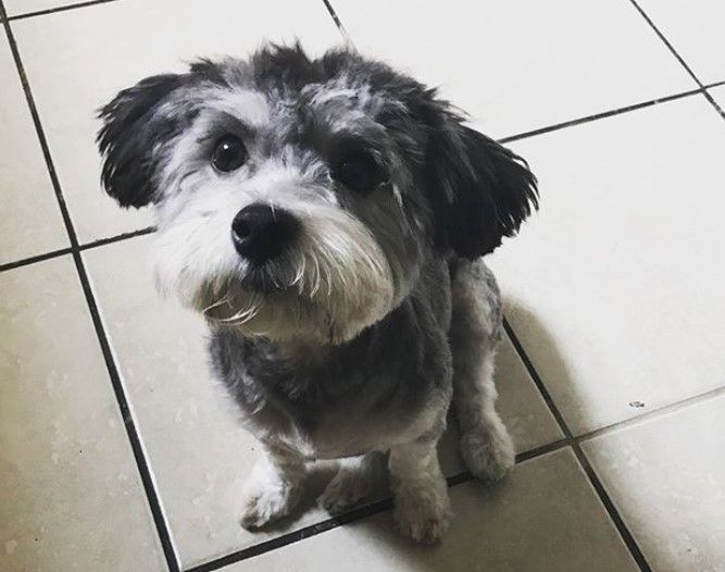 10 Best Havanese Haircuts For Your Puppy The Paws Havanese Haircuts Havanese Dog Haircuts