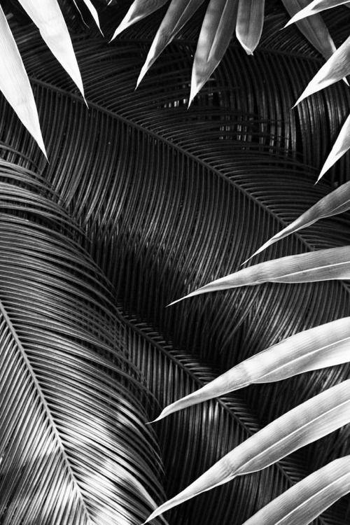 salva de palmas (e de palmeiras)