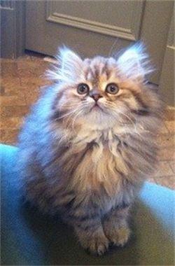 Straight Eared - Longhair Scottish Fold   Animal Love ...
