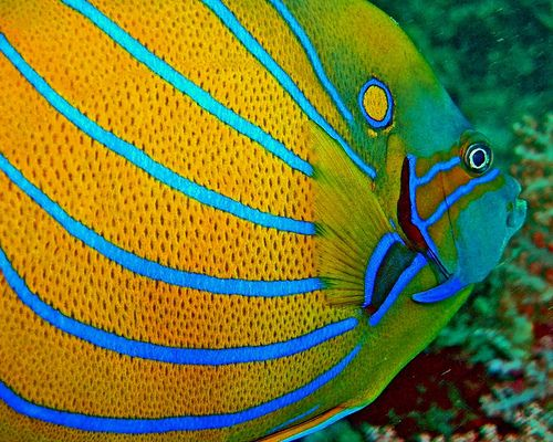 Queen AngelfishCoral Reef, Sea Life, Amazing Photography, Sea Creatures, Queens Angelfish, Colors Marines Fish, Marines Life, Annulari Angelfish, Angelfish Details