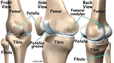 knee_anatomy01.jpg (JPEG Image, 400×222 pixels)