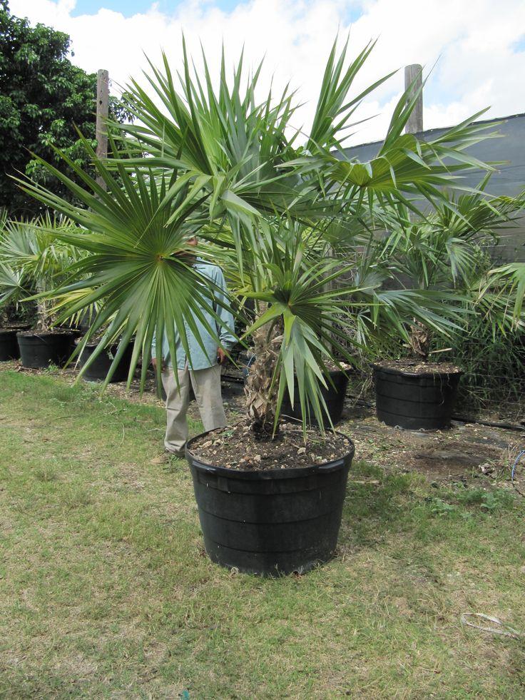 LEUCOTHRINAX MORRISII (SYN. THRINAX MORRISII) Plants