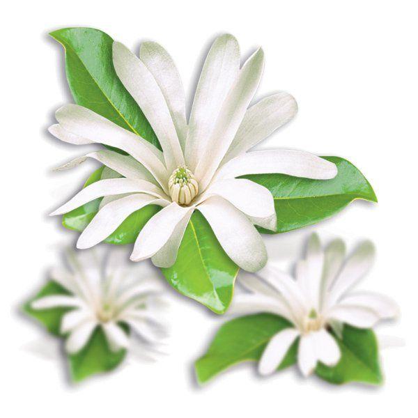 Magnolia - Magnolia 'Stellata'