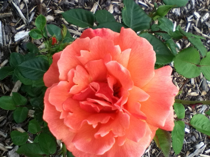 Fire star rose