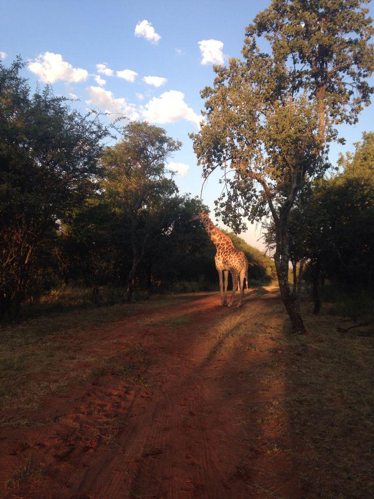 #africa #trailrunning #southafrica #giraffe