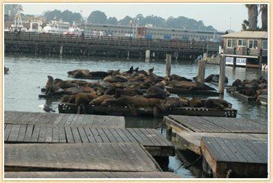 san-francisco-sea-lions1