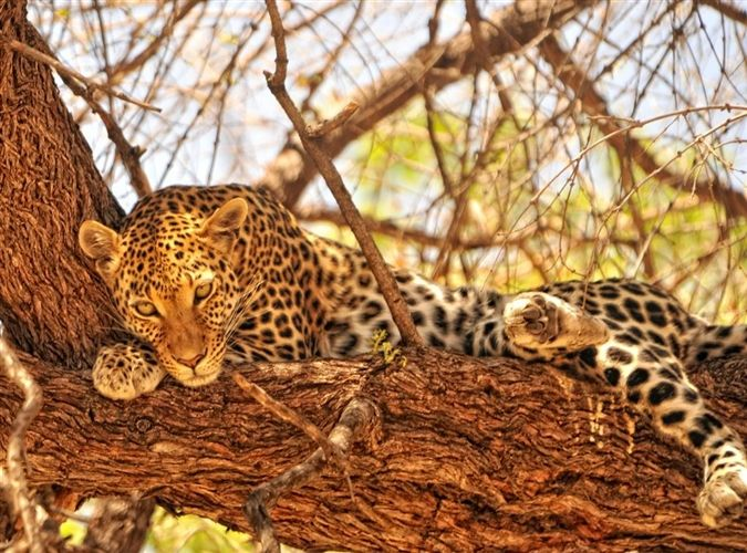 Leopard relaxing in the Moremi Game Reserve, Botswana. One of many great wildlife sightings