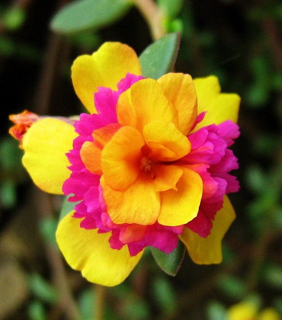 ~~verdolaga bicolor / two-colored Portulaca Portulaca is sun loving and grow well in hot direct sunlight up to 100 degrees F. Cut a stem, plant in potting soil and it will re-root. From one basket, I can make three or four in a three week period. It makes for a great hanging basket.