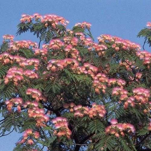 silk or mimosa tree albizia julibrissin var rosea mimosa trees pinterest trees norte. Black Bedroom Furniture Sets. Home Design Ideas