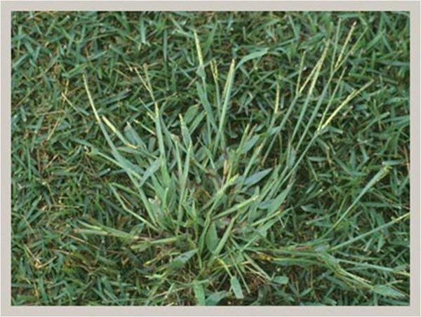 160 besten Lawn Weeds Bilder auf Pinterest | Gräser, Gelbe blumen ...
