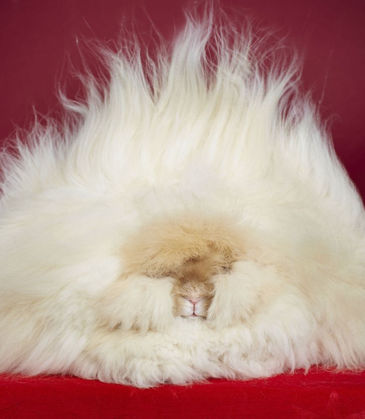 """Longest fur on a rabbit: Underneath all that fuzz is indeed a rabbit! Franchesca is a three year old English Angora rabbit who lives in California (USA). Her hair measures 14.37 inches long, which is double the length of a Subway sandwich.   Franchesca is not only a """"Best in Show"""" winner, she is now a mother to four lovely little ones who look just like her. She is one of our fluffiest record holders."""