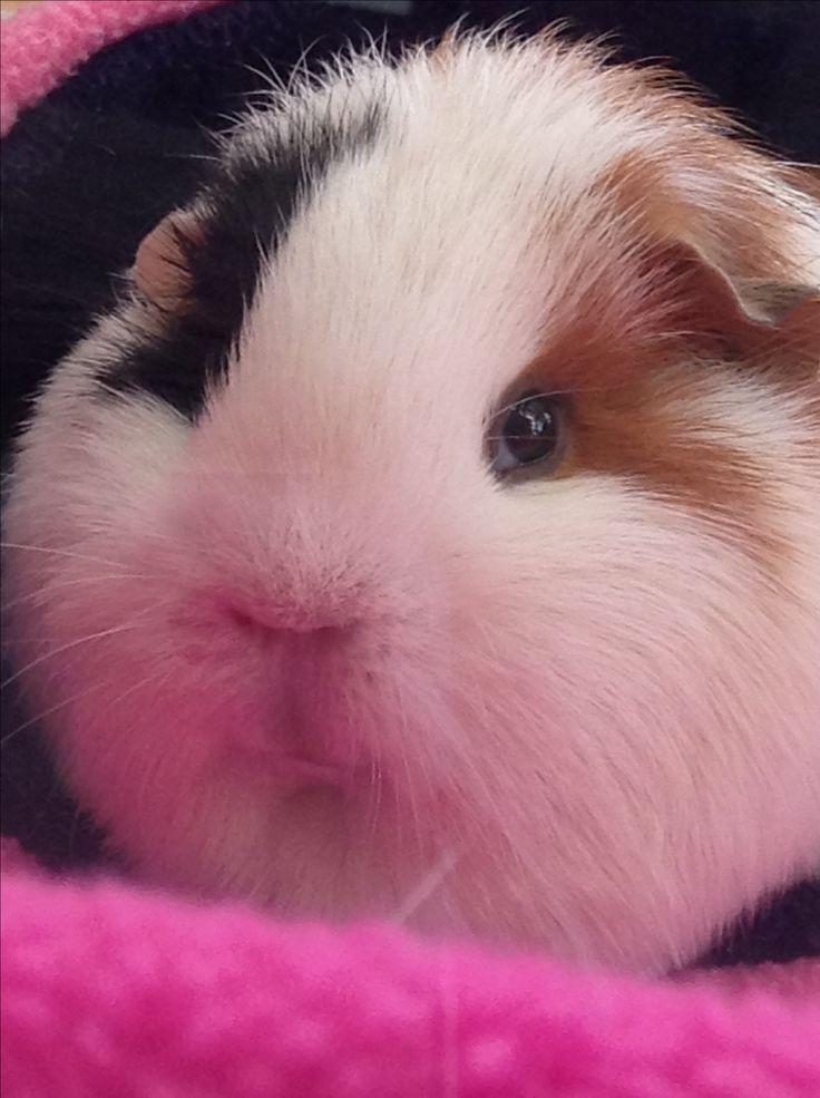 The Guinea Pig Forum