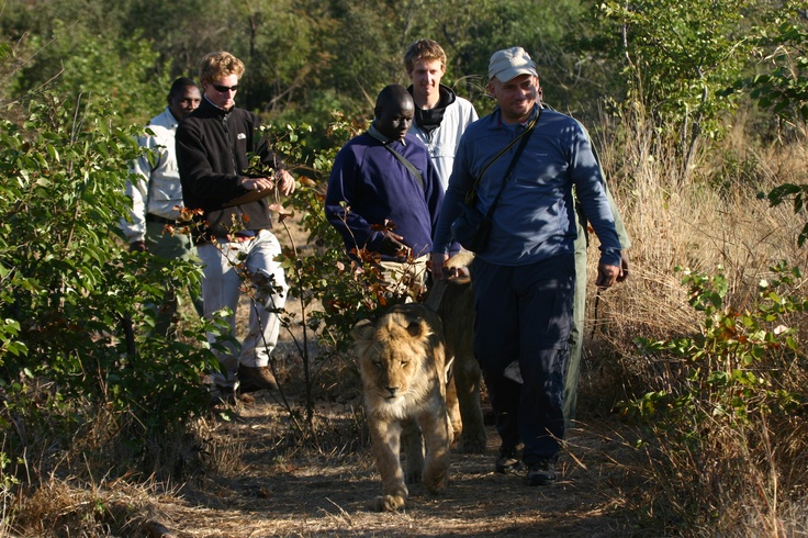 Lion Walk in Zimbabwe