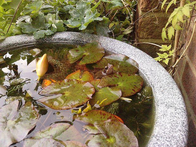 Frog in mini pond pond in a pot
