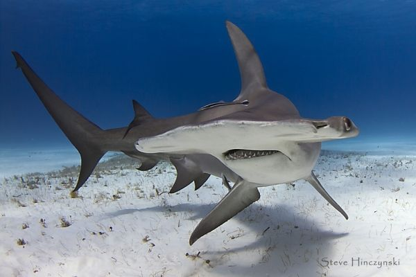 The Great Hammerhead Shark by Steve Hinczynski: check out this article.