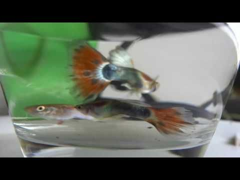 wallpaper cute animals drawings cute animals videos cute animals cartoon cute animals to draw cute How Beautiful Guppies Fish #fish #tank #howto #make #design #aquarium #FHD #1080P #NEW #2017 #Freshwater #Setup #Disease #Breeding #Plants #Books #Articles #Saltwater #Guide #Reef #Coral #Live #Rock #Equipment #Reviews #Light #Brine #Shrimp #Hatchery #Osmosis #UV #Sterilizer #Chiller #most #pictures #videos #movies #youtube #ever Freshwater Fish Barbs Betta Catfish Cichlids Freshwater Inverts…