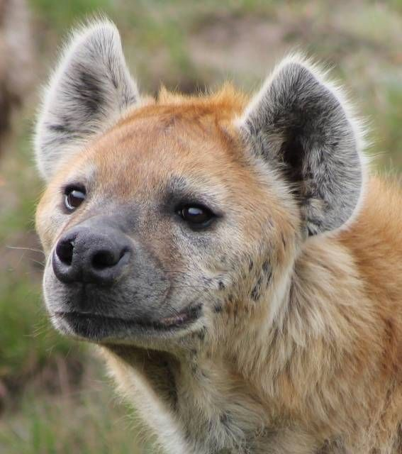 Baby Hyena: 11 Best Images About Spotted Hyenas On Pinterest