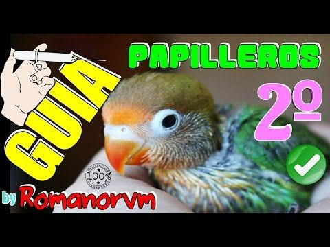 GUIA ALIMENTICIA (2/2) de 30 a 75 días Agapornis PAPILLEROS - METER JAULA, VOLAR, DAR SOLIDOS - YouTube