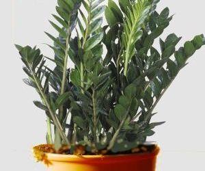 le zamioculcas est une jolie plante dintrieur entretien rempotage arrosage feuilles qui jaunissent ou encore les maladies voici ce quil faut savoir - Les Plantes Grasses D Exterieur