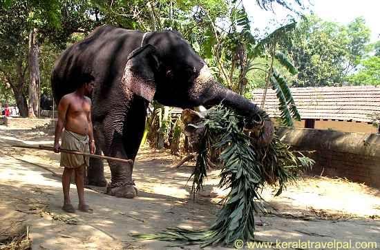 Elephant and mahout at Guruvayoor Anakotta, Kerala