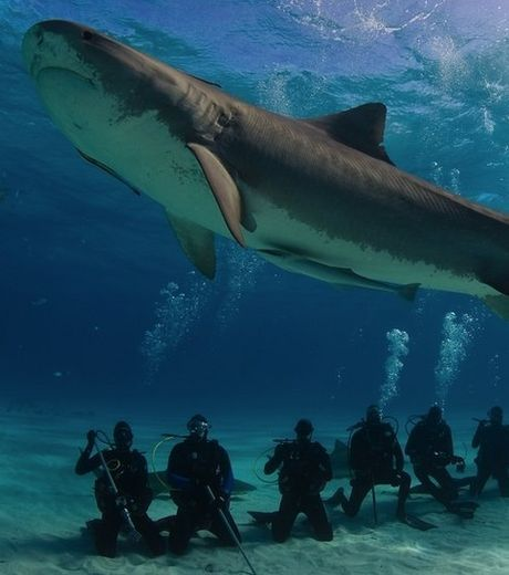 Requin tigre - tiger shark, Bahamas ... umm i dont think so