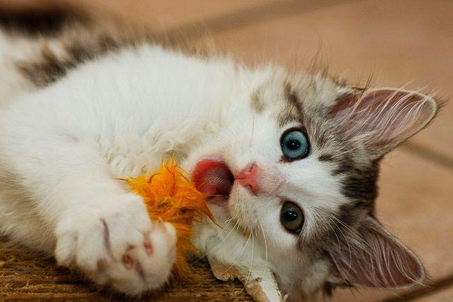 Siberian Cats & Kittens, Breeder list Australia - information and great photos