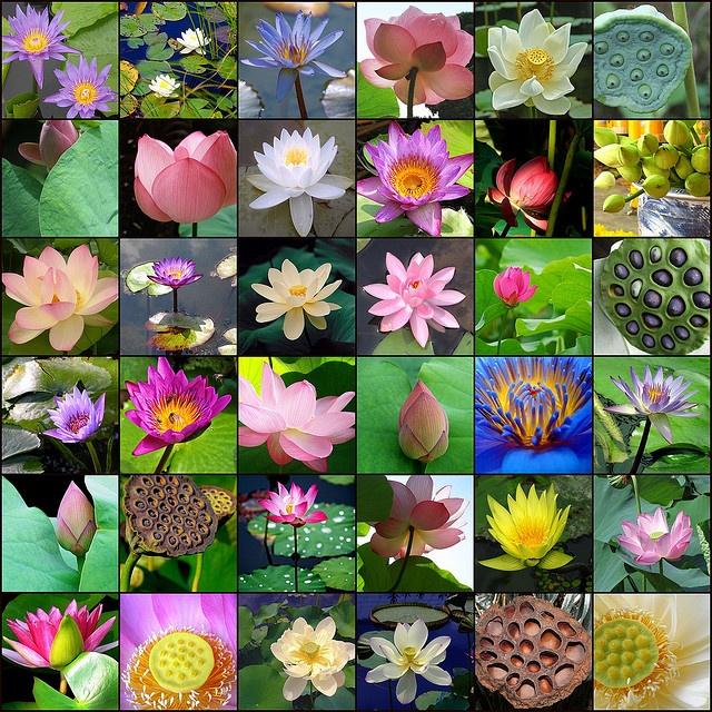 1. phuket_lotus, 2. Thousand Petals of the Lotus..., 3. Blue Lotus, 4. Looking up at a lotus flower 2, 5. white lotus flower in Mauritius, 6. Baby Lotus seeds, 7. lotus bud, 8. Round lotus flower, 9. Lotus flower, 10. Purple Lotus, 11. Sun-touched Lotus Bloom, 12. Lotus bouquet, 13. Lotus Blossom, 14. Purdy Lotus..., 15. lotus, 16. lotus, 17. Lotus, 18. Lotus seeds, 19. Lotus, 20. Busy Bees and the Lotus Flower, 21. Pink lotus, 22. Lotus bud 2, 23. Lotus, 24. lotus, 25. Lotus bud 1, 26…