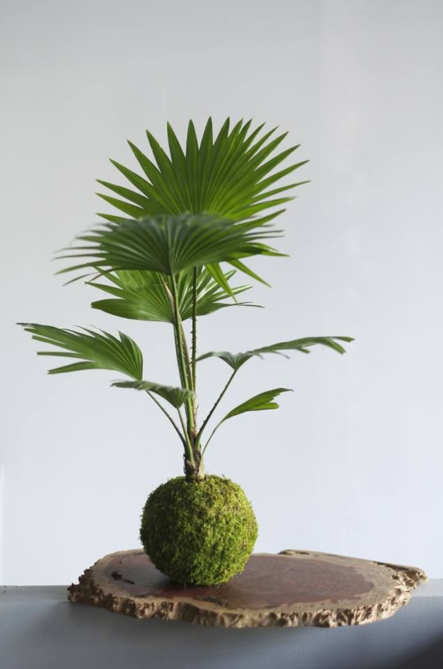 kokedama palm living pinterest it is palms and tops. Black Bedroom Furniture Sets. Home Design Ideas