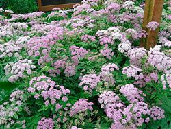 Chaerophyllum hirsutum 'Roseum' - this pink hairy chervil maybe a better frothy filler than the larger Baltic parsley below
