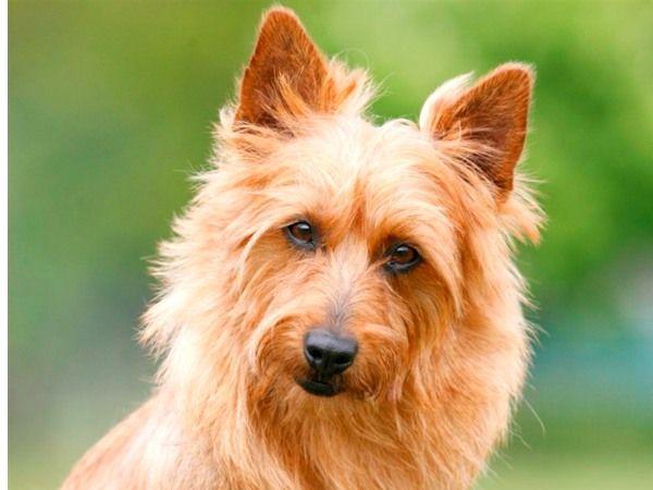 #Australische Terrier. Ingezonden op: 19 november 2015: Unity von den Grauen Anfurten