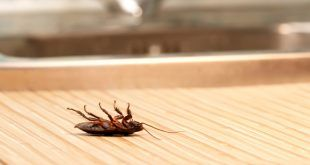 How to get rid of cockroaches without using toxic substances.