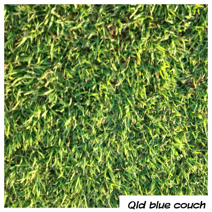 Qld Blue Couch - Soft and real easy going. Green and not thirsty. Love it