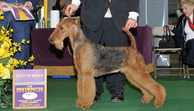 2019 Airedale Terriers Breed Results For The Westminster Kennel Club Fox Sports Terrier Breeds Airedale Terrier Terrier