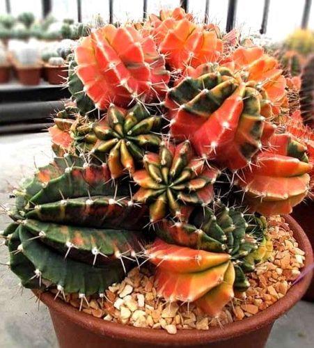Gymnocalycium-mihanovichii-variegata-Semillas-De-Cactus