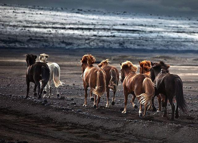 Icelandic Horses.