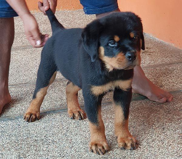 Dijual Anjing Rottweiler Jual Rottweiler Jantan Betina Von Den Bosch Kennel Lokasi Malang Minat Hub 081228886000 N Anjing Rottweiler Anjing Anjing Lucu