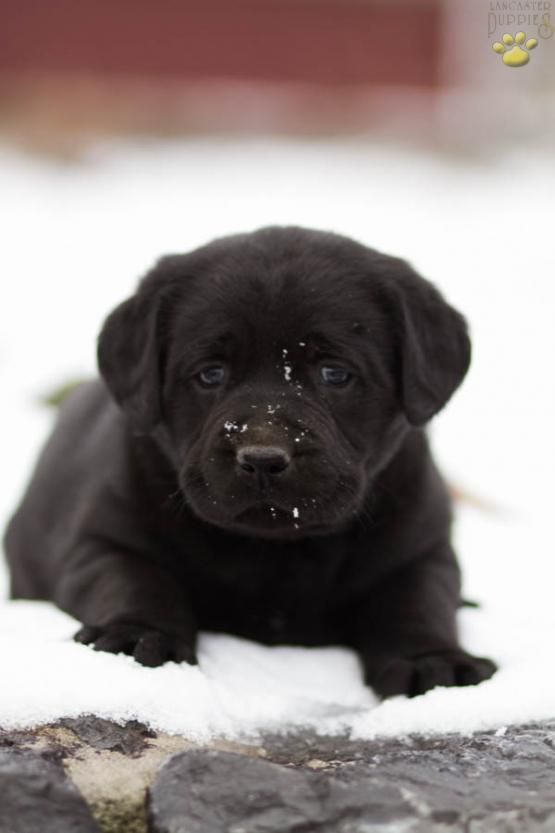 ◄↕So Cute and Cuddly ↕► #RetrieverLove #Lab #LabradorRetriever #BuckeyePuppies #Puppies #Pups #Pup #Puppy #Funloving #Sweet #PuppyLove #Cute #Cuddly #ForTheLoveOfADog #MansBestFriend #ChildrenFriendly #puppyandChildren #ChildandPuppy www.BuckeyePuppies.com