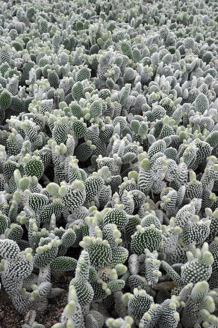 opuntia microdasys world | Flickr - Photo Sharing! #cactus #opuntia --This world is really awesome.