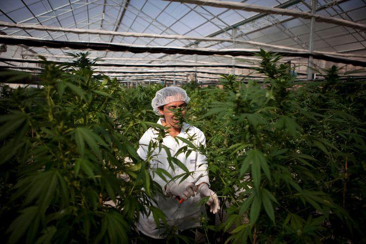 Israeli Cabinet Makes Move to Decriminalize Recreational Marijuana Use - The New York Times