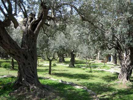 The Garden of Gethsemane is a strikingly beautiful garden, located at the foot of the Mount of Olives.