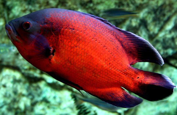 aquariums with red oscar fish | As close to a perfect fish as I have ever raised. It took a lot of ...