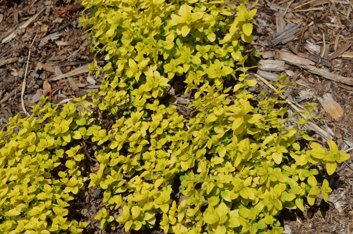 Golden oregano this low growing perennial plant adds a for Low growing plants for landscaping