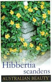 Image result for hibbertia scandens