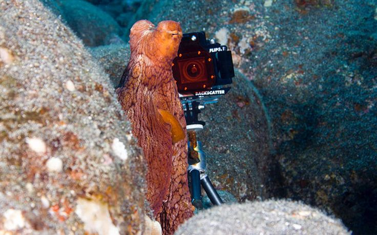 Here's a shot that shows the GoPro positioned behind the octopus in the video above. Photo © Timothy Ewing.