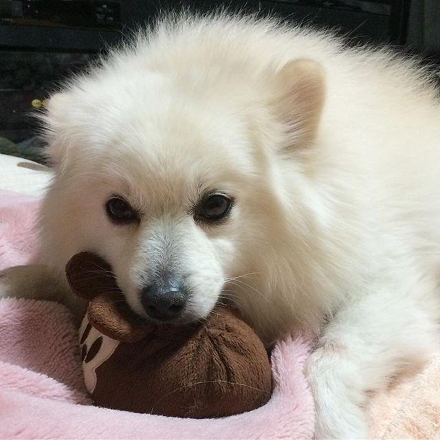 おはよ〜🤗🤗🤗 今日は午前中だけ仕事やから シロちゃん待っててね〜😉😉 #pompom #puppylove #pomeranian #pomestgram #PomeranianDog #ポメラニアン #ポメ#白ポメdog#dogs #dogstagram#pomestagram#愛犬#ワンコ#いぬ#犬#犬バカ部 #いぬすたぐらむ#いぬら部 #いぬ部 #いぬのきもち #癒しわんこ #癒し#ふわもこ部 #ふわふわ #もふもふ #甘えん坊犬 #イヌスタグラム #しろ #でかポメ