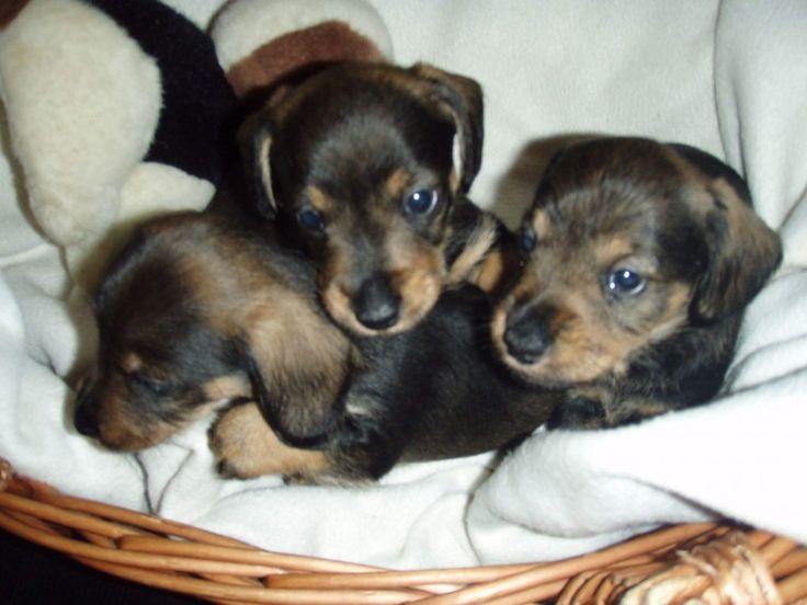 Miniature Dachshund X Wire Haired Dachshund Dachshund Puppies