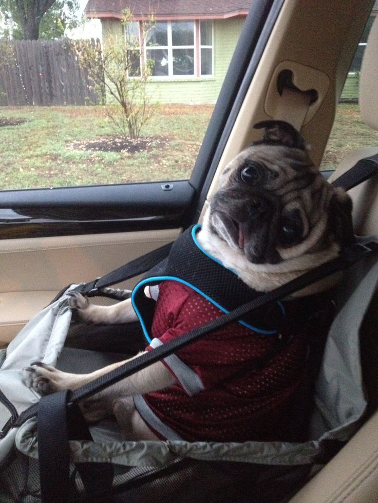 Pug In Car Seat Just Love It S A Pug Life Pinterest