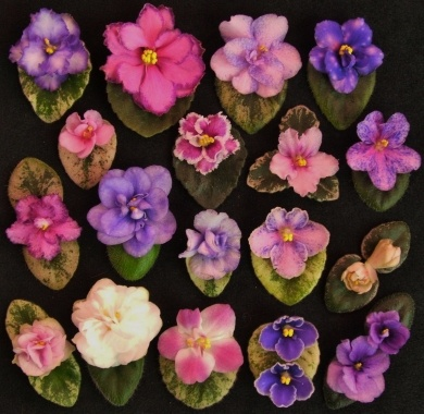 mini african violets: House Plants, Minis African, African Violets Violets, Violets Violets Barns, Miniatures Violets, African Violets Mi, Miniatures African Violets, Flowers Plants Outdoor, Violetas