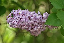 Syringa vulgaris (Common Lilac) - Wikipedia, the free encyclopedia